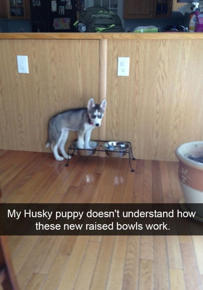 Dog - My Husky puppy doesn't understand how these new raised bowls work. 417