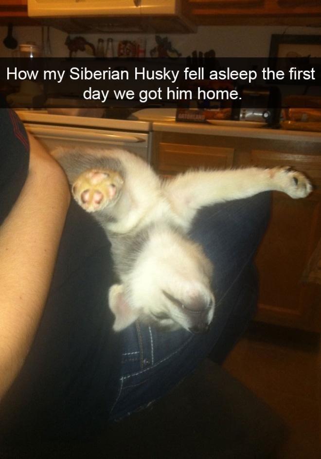 Cat - How my Siberian Husky fell asleep the first day we got him home. GETOREANS