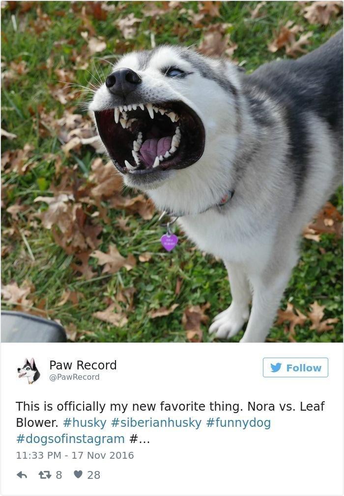Dog - Paw Record Follow @PawRecord This is officially my new favorite thing. Nora vs. Leaf Blower. #husky #siberianhusky #funnydog #dogsofinstagram #... 11:33 PM - 17 Nov 2016 6 17 8 V 28