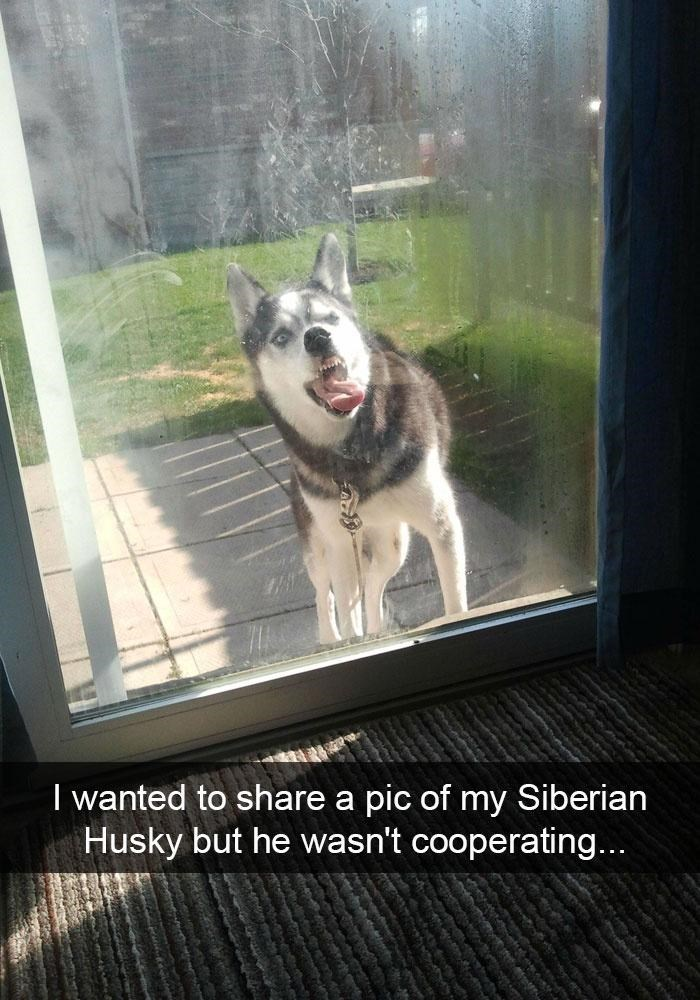 Dog - I wanted to share a pic of my Siberian Husky but he wasn't cooperating...