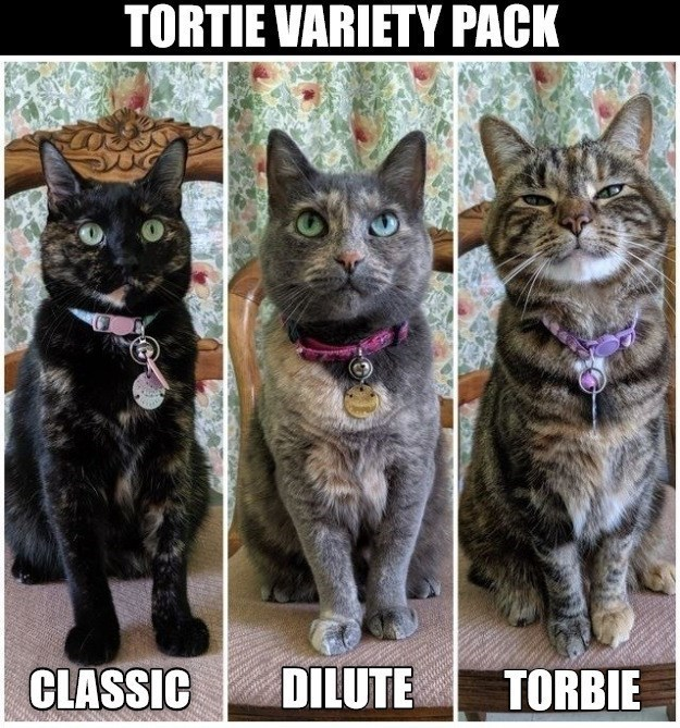 TORTIE VARIETY PACK CLASSIC DILUTE TORBIE | different tortoiseshell cat fur pattern coloring