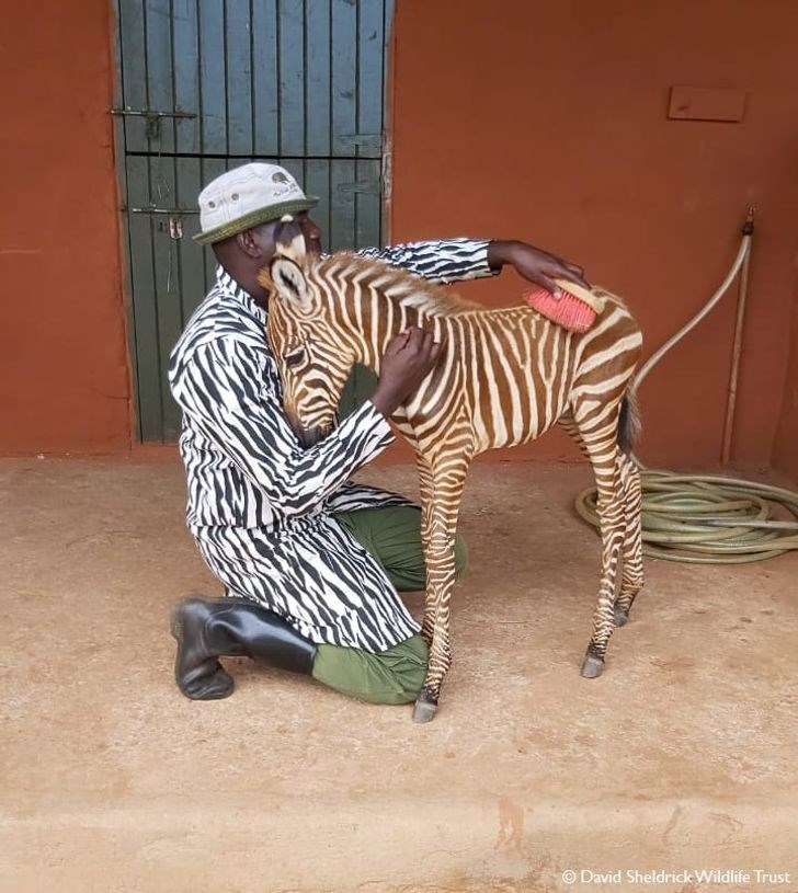 Zebra - © David Sheldrick Wildlife Trust