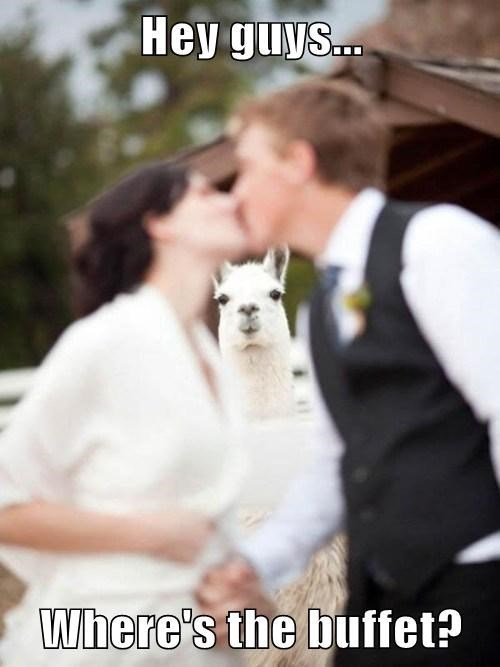 Hey guys where's the buffet? | funny pic of a couple kissing at their wedding and a llama looking between them