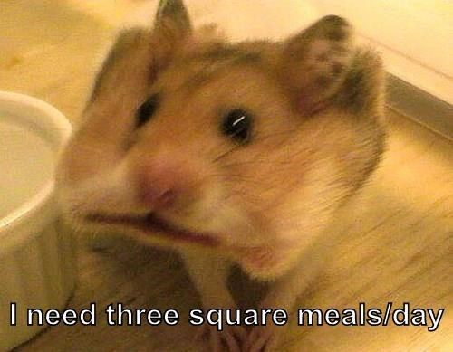 I need three square meals/day | funny pic of a hamster with something square shaped inside its mouth stretching its cheeks