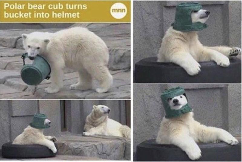 Photograph - Polar bear cub turns bucket into helmet mnn