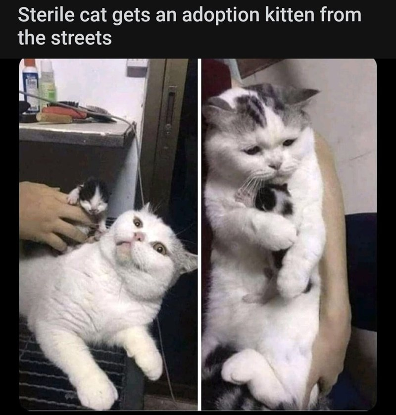 Cat - Sterile cat gets an adoption kitten from the streets