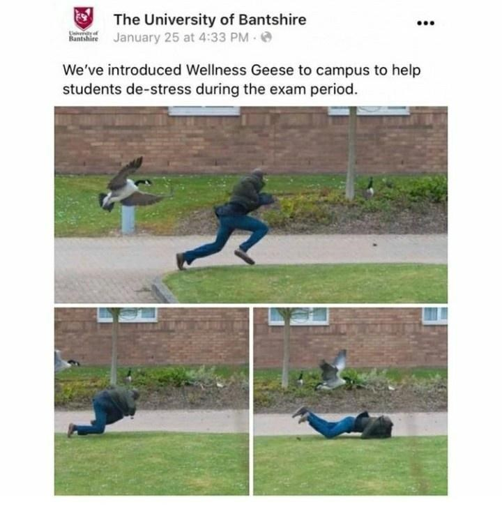 Trousers - The University of Bantshire January 25 at 4:33 PM Bantshire We've introduced Wellness Geese to campus to help students de-stress during the exam period.