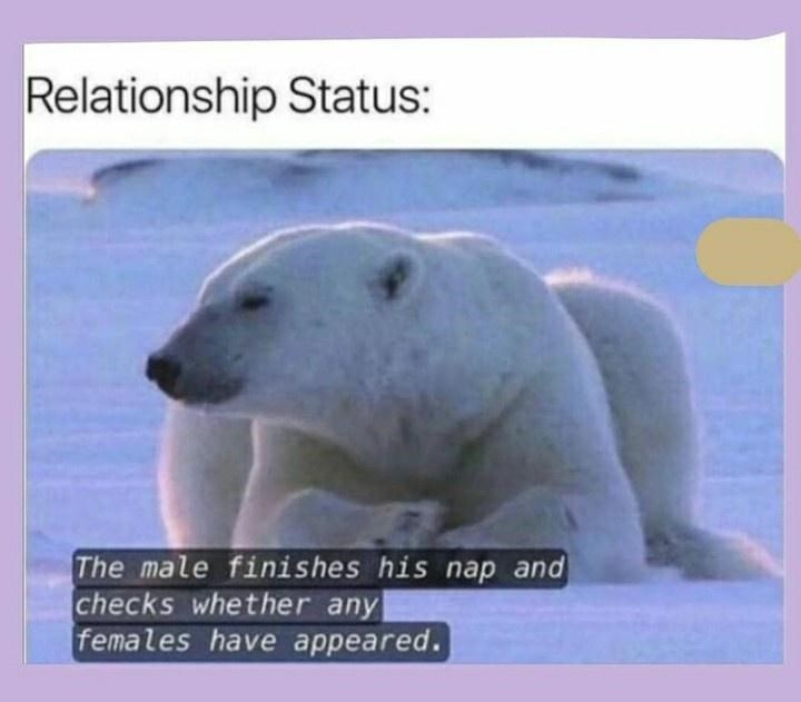 Polar bear - Relationship Status: The male finishes his nap and checks whether any females have appeared.