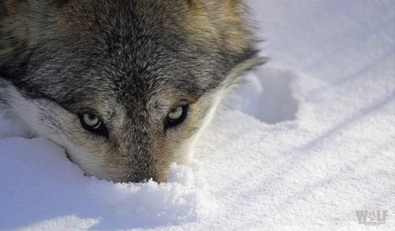 Snow - WLF