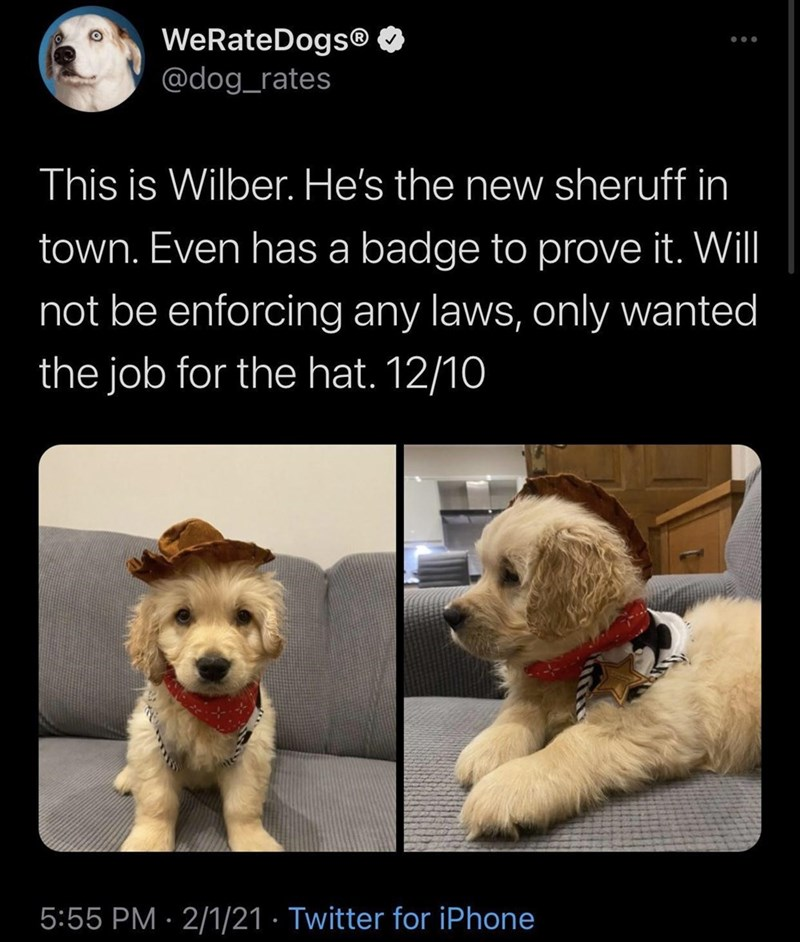 Dog - WeRateDogs® @dog_rates This is Wilber. He's the new sheruff in town. Even has a badge to prove it. Will not be enforcing any laws, only wanted the job for the hat. 12/10 5:55 PM · 2/1/21 · Twitter for iPhone