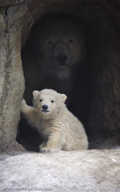 Polar bear - photo by Sergel Gladyshev