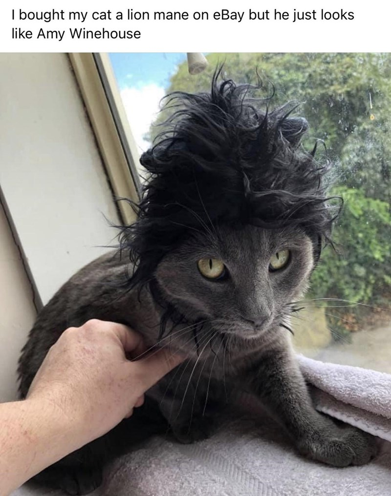 Cat - I bought my cat a lion mane on eBay but he just looks like Amy Winehouse