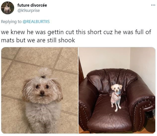 Dog - future divorcée ... @k9surprise Replying to @REALBURTIIS we knew he was gettin cut this short cuz he was full of mats but we are still shook