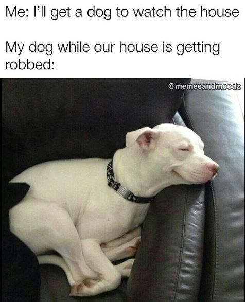 Dog - Me: l'll get a dog to watch the house My dog while our house is getting robbed: @memesandmoodz