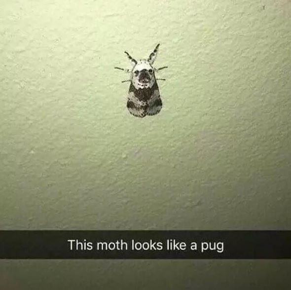 Insect - This moth looks like a pug