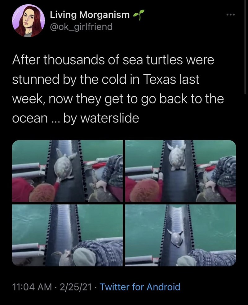 Product - Living Morganism @ok_girlfriend After thousands of sea turtles were stunned by the cold in Texas last week, now they get to go back to the ocean ... by waterslide 11:04 AM · 2/25/21 · Twitter for Android