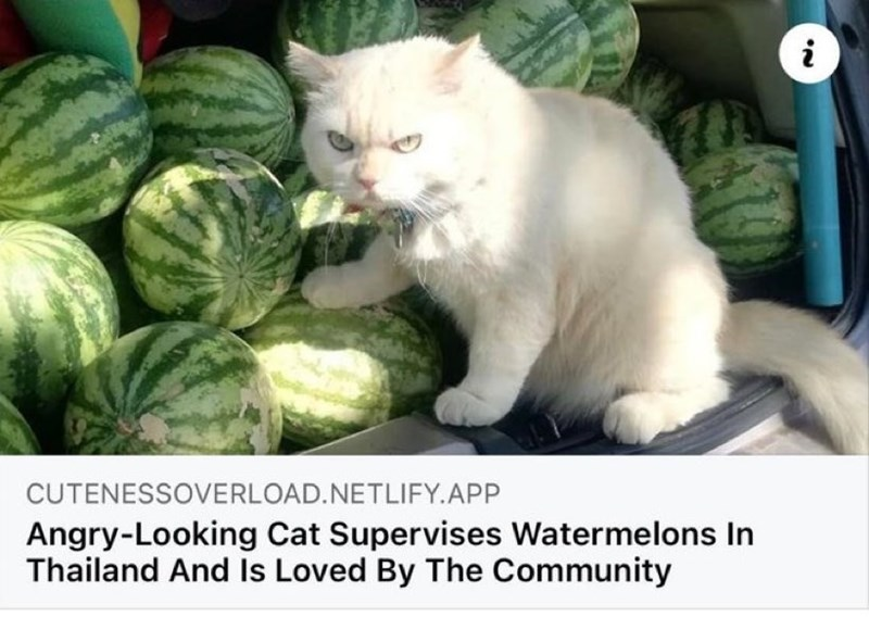 Food - CUTENESSOVERLOAD.NETLIFY.APP Angry-Looking Cat Supervises Watermelons In Thailand And Is Loved By The Community
