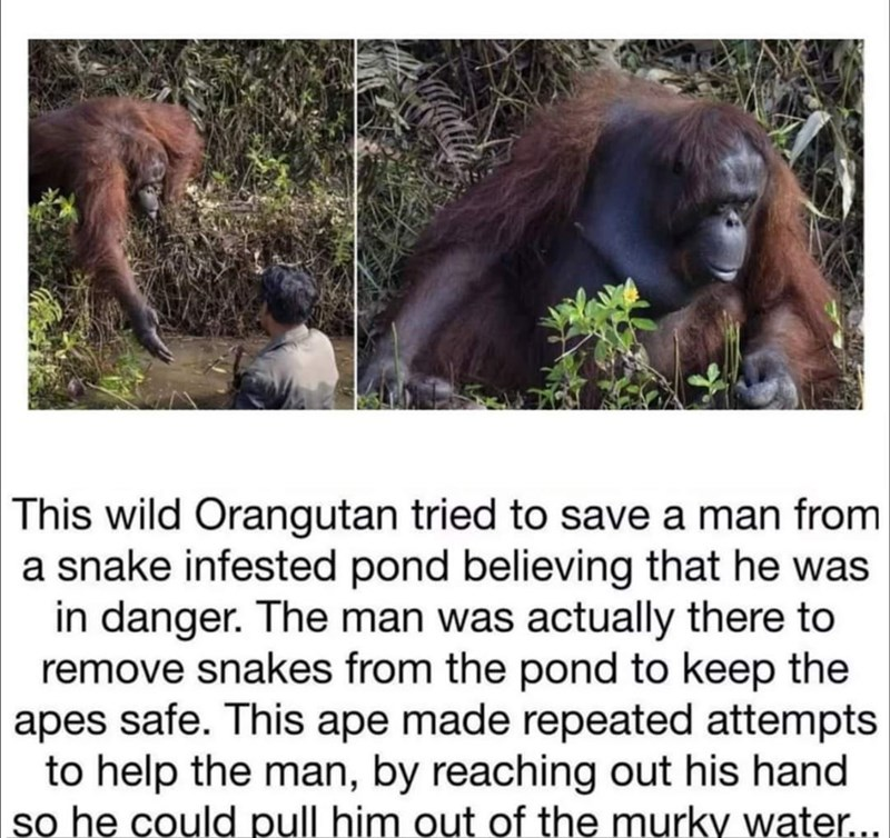 Ecoregion - This wild Orangutan tried to save a man from a snake infested pond believing that he was in danger. The man was actually there to remove snakes from the pond to keep the apes safe. This ape made repeated attempts to help the man, by reaching out his hand so he could pull him out of the murky water...
