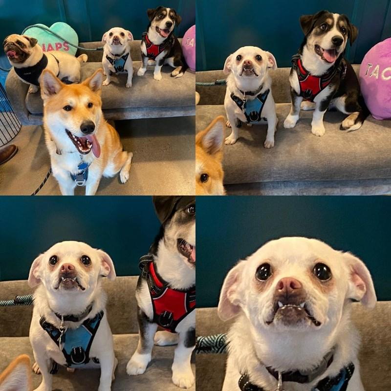 Dog - TA TAC HAPS
