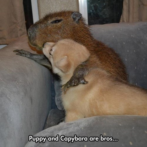 Puppy and Capybara are bros... | cute pic of a small dog and a capybara cuddling together