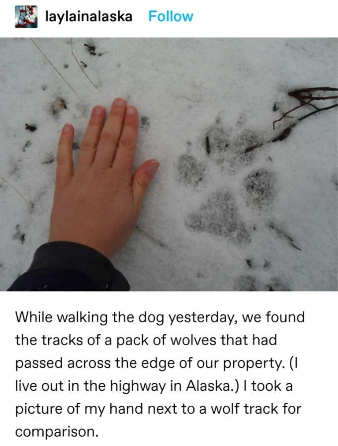 Human - laylainalaska Follow While walking the dog yesterday, we found the tracks of a pack of wolves that had passed across the edge of our property. (I live out in the highway in Alaska.) I took a picture of my hand next to a wolf track for comparison.