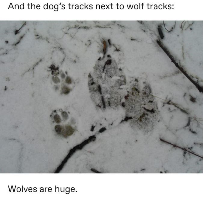 Organism - And the dog's tracks next to wolf tracks: Wolves are huge.