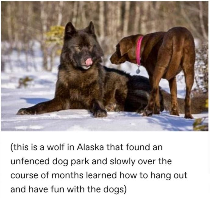 Dog - (this is a wolf in Alaska that found an unfenced dog park and slowly over the course of months learned how to hang out and have fun with the dogs)