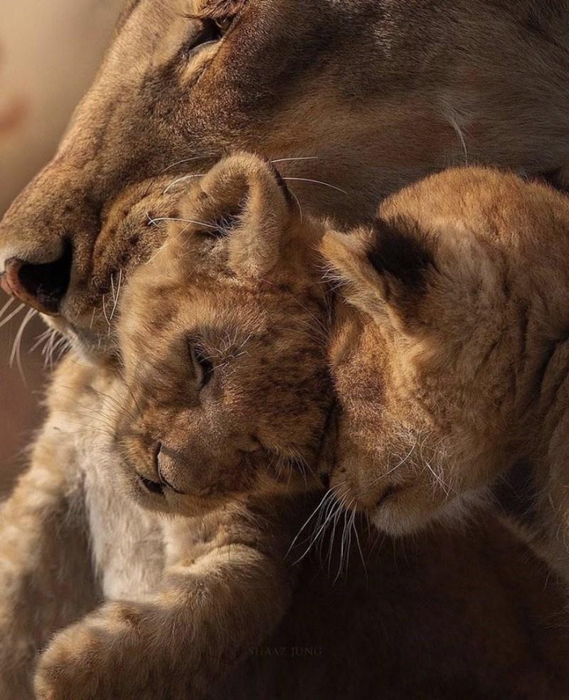 Felidae - SHAAZ JUNG