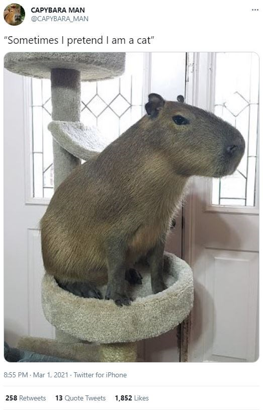 """Rodent - CAPYBARA MAN ... @CAPYBARA_MAN """"Sometimes I pretend I am a cat"""" 8:55 PM Mar 1, 2021 - Twitter for iPhone 258 Retweets 13 Quote Tweets 1,852 Likes"""