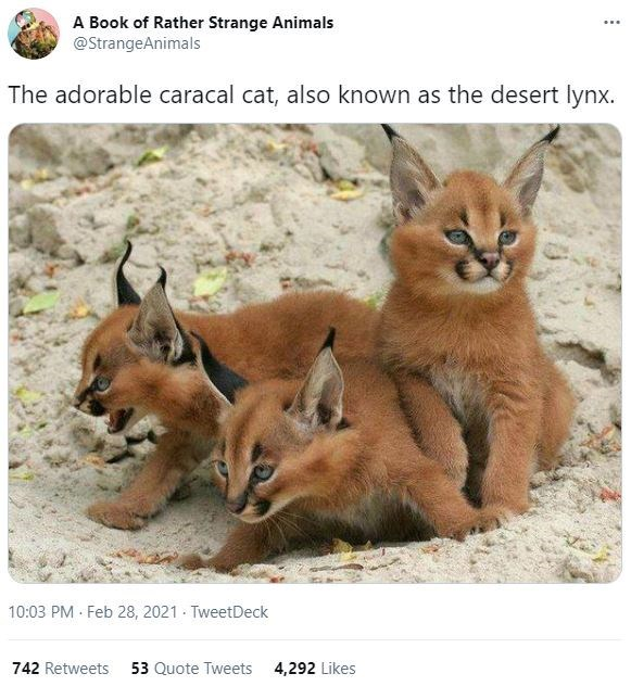Photograph - A Book of Rather Strange Animals @StrangeAnimals ... The adorable caracal cat, also known as the desert lynx. 10:03 PM Feb 28, 2021 - TweetDeck 742 Retweets 53 Quote Tweets 4,292 Likes