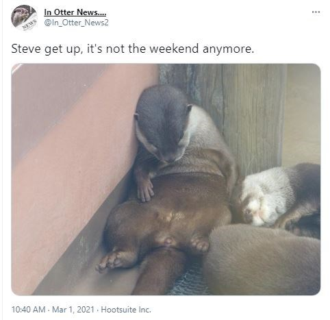 Product - In Otter News.. NEWS @In_Otter_News2 ... Steve get up, it's not the weekend anymore. 10:40 AM - Mar 1, 2021. Hootsuite Inc.