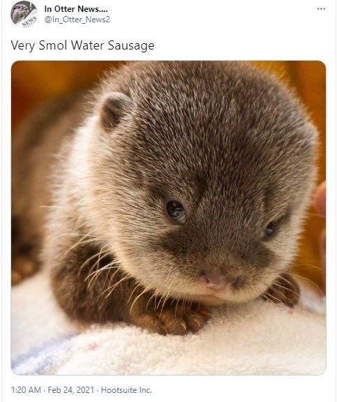Organism - In Otter News. @In_Otter_News2 NEWS Very Smol Water Sausage 1:20 AM - Feb 24, 2021 - Hootsuite Inc.