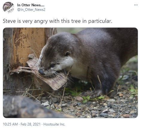 Vertebrate - In Otter News.. @In_Otter_News2 NEWS Steve is very angry with this tree in particular. 10:25 AM - Feb 28, 2021 - Hootsuite Inc.