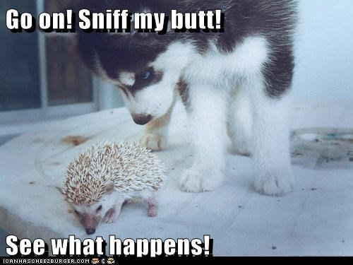 Go on! Sniff my butt! See what happens! | small puppy dog and a hedgehog
