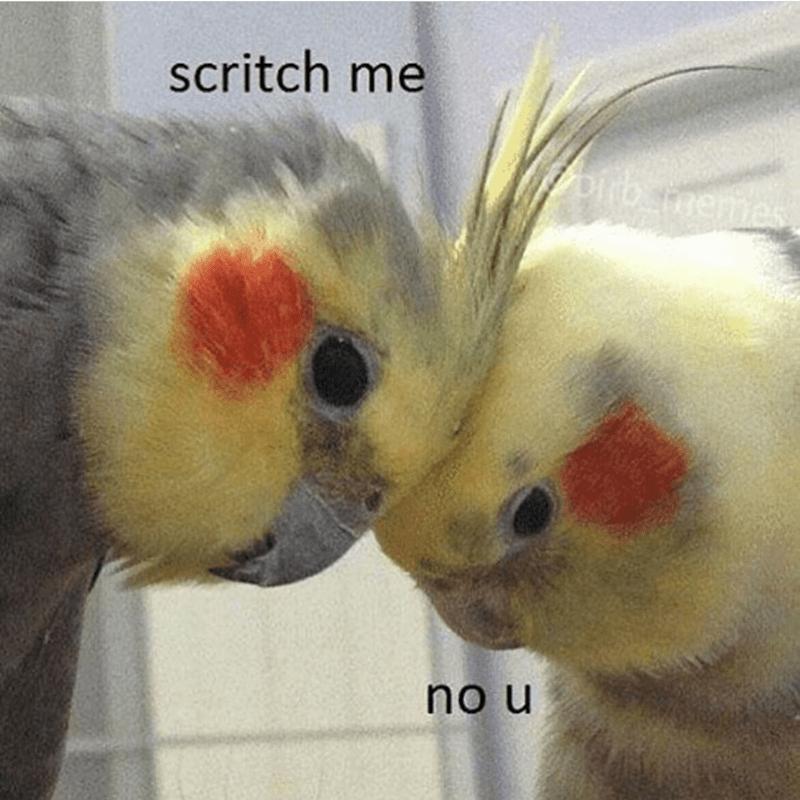 Cockatiel - scritch me memes no u