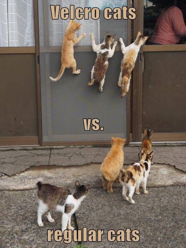 Cat - Velcro cats VS. regular cats