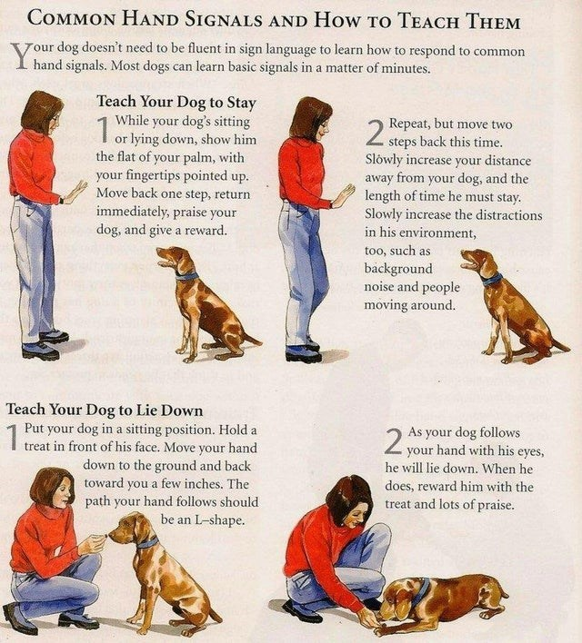Dog - COMMON HAND SIGNALS AND How TO TEACH THEM Y rour dog doesn't need to be fluent in sign language to learn how to respond to common I hand signals. Most dogs can learn basic signals in a matter of minutes. Teach Your Dog to Stay While your dog's sitting or lying down, show him the flat of your palm, with 2 Repeat, but move two steps back this time. Slowly increase your distance away from your dog, and the length of time he must stay. Slowly increase the distractions in his environment, your