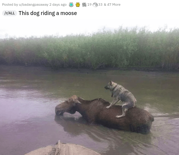 Water - Posted by u/badangpasaway 2 days ago 19 33 & 47 More Ir/ALL This dog riding a moose