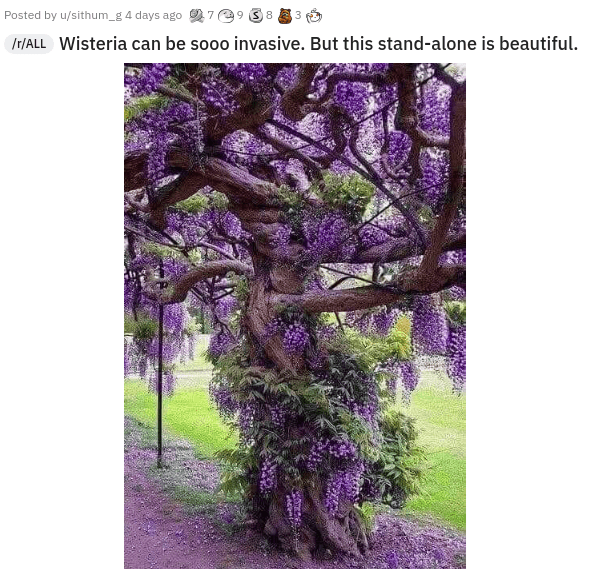 Plant - Posted by u/sithum_g 4 days ago 7 9 S8 A 3 IH/ALL Wisteria can be sooo invasive. But this stand-alone is beautiful.