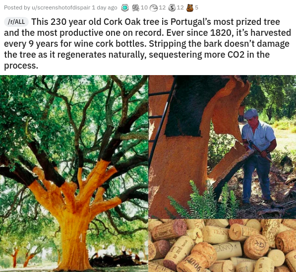 Vertebrate - IT/ALL This 230 year old Cork Oak tree is Portugal's most prized tree and the most productive one on record. Ever since 1820, it's harvested every 9 years for wine cork bottles. Stripping the bark doesn't damage the tree as it regenerates naturally, sequestering more CO2 in the Posted by u/screenshotofdispair 1 day ago 6 2 10 e12 3 12 E 5 process. TEAN 4006 NO 26