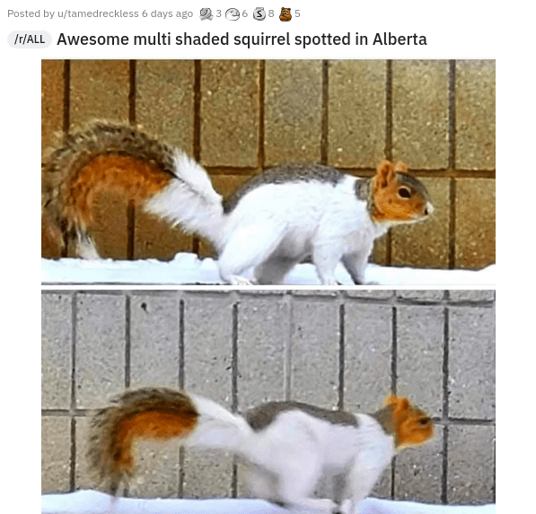 Photograph - Posted by u/tamedreckless 6 days ago 236 38 E 5 Ir/ALL Awesome multi shaded squirrel spotted in Alberta