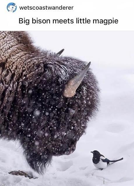 Watch - wetscoastwanderer Big bison meets little magpie
