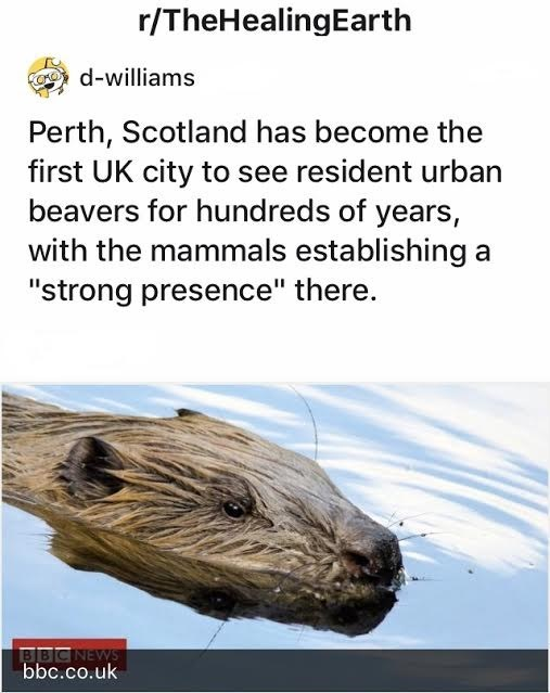 """Organism - r/TheHealingEarth d-williams Perth, Scotland has become the first UK city to see resident urban beavers for hundreds of years, with the mammals establishing a """"strong presence"""" there. BBCNEWS bbc.co.uk"""