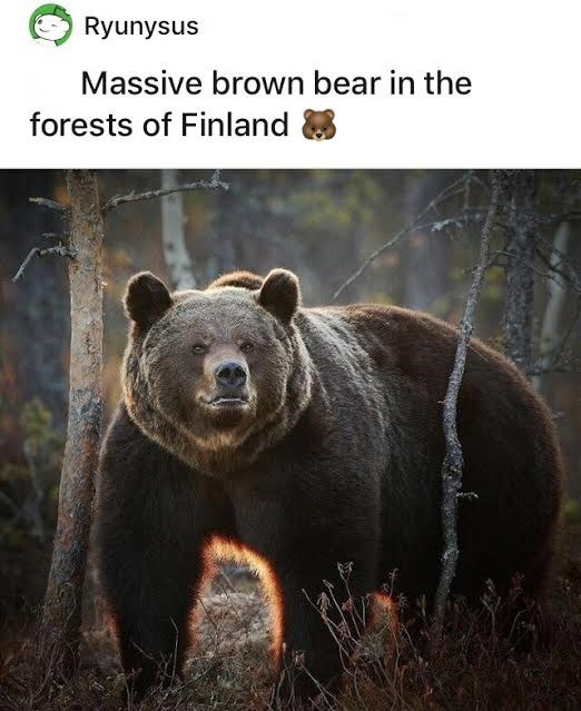 Eye - Ryunysus Massive brown bear in the forests of Finland