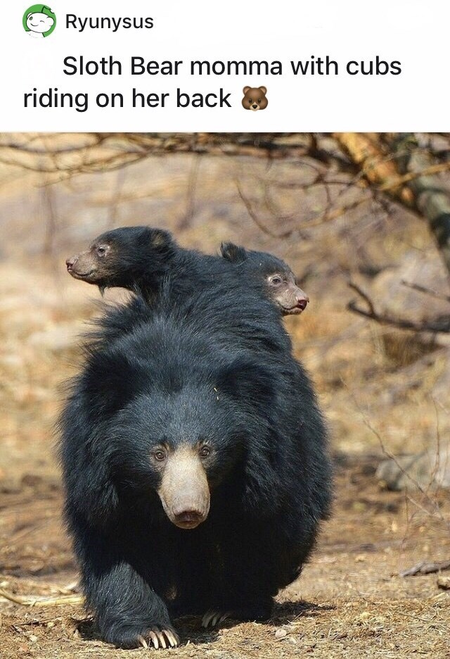Organism - Ryunysus Sloth Bear momma with cubs riding on her back