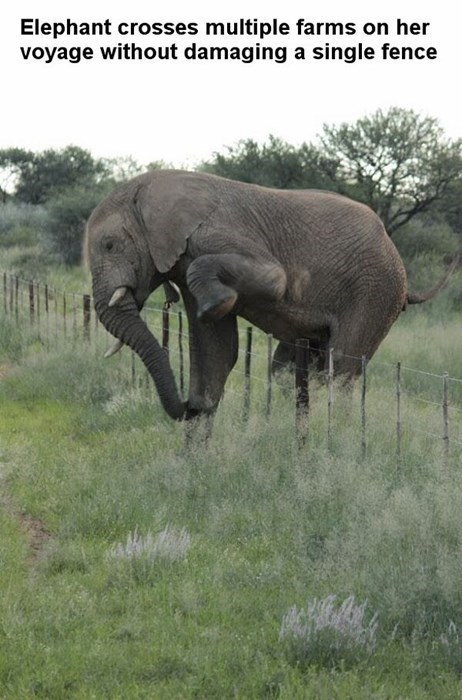 Elephant crosses multiple farms on her voyage without damaging a single fence