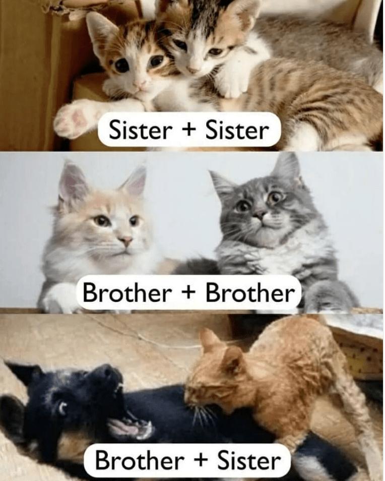 Cat - Sister + Sister Brother + Brother Brother + Sister