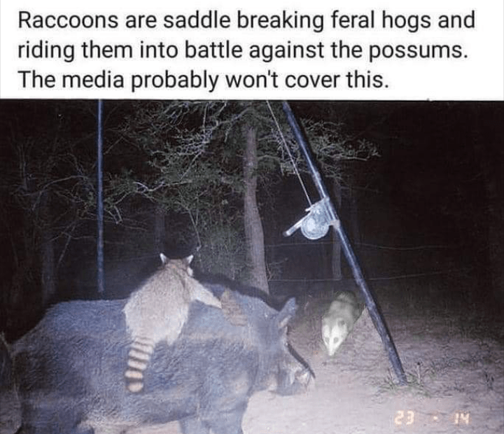 Organism - Raccoons are saddle breaking feral hogs and riding them into battle against the possums. The media probably won't cover this. 23 IN