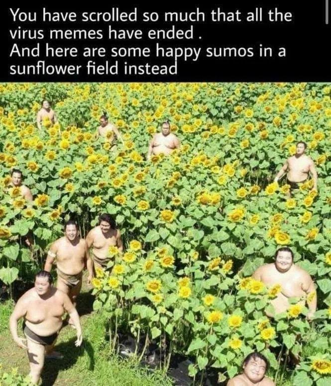 Plant - You have scrolled so much that all the virus memes have ended . And here are some happy sumos in a sunflower field instead