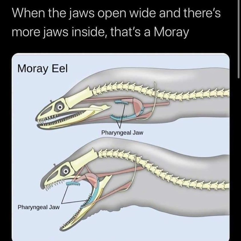 Fin - When the jaws open wide and there's more jaws inside, that's a Moray Moray Eel Pharyngeal Jaw Pharyngeal Jaw